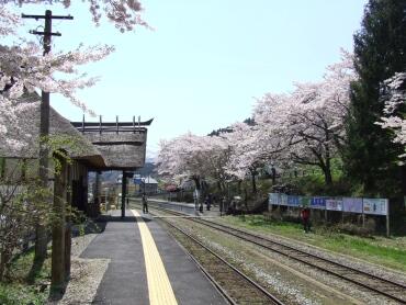 湯野上温泉駅の桜3.jpg