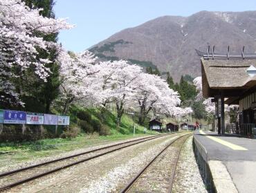 湯野上温泉駅の桜1.jpg