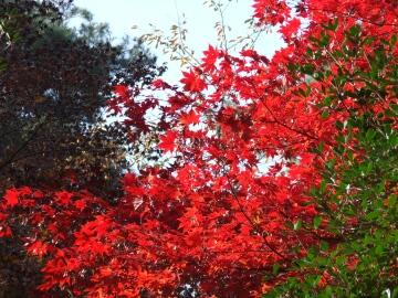 徳明園紅葉2.jpg