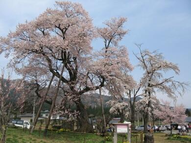 二の桜1.jpg