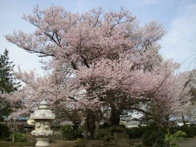 典厩寺桜2.jpg