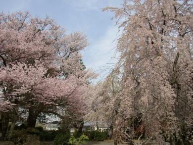 典厩寺桜3.jpg