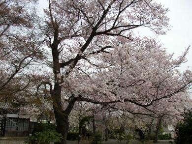 典厩寺桜1.jpg