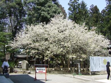 薄墨桜1.jpg