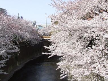 板橋の桜2.jpg