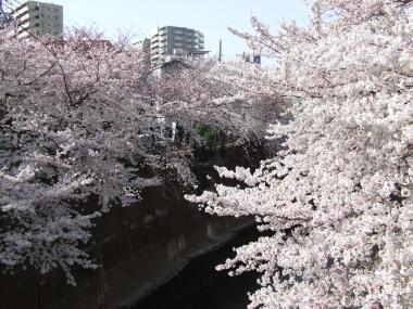 板橋の桜3.jpg