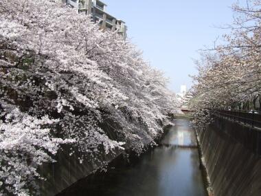 板橋の桜1.jpg