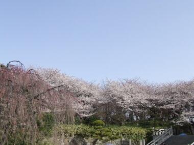 飛鳥山公園の桜2.jpg