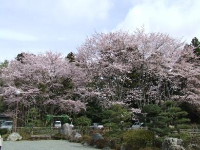 宝泉寺桜1.jpg