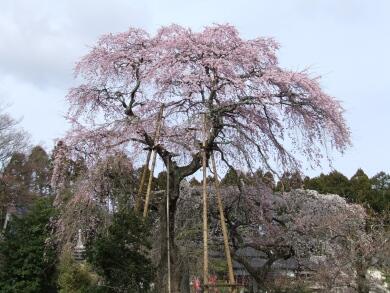 宝泉寺枝垂れ桜2.jpg