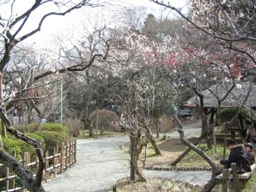 百草園の梅3.jpg