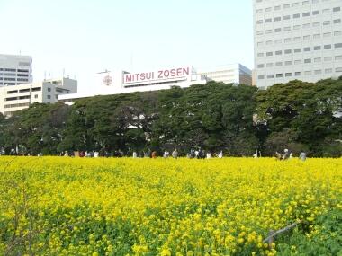 浜離宮菜の花1.jpg