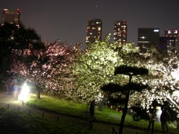 浜離宮夜桜2.jpg