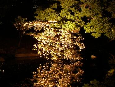 浜離宮夜桜1.jpg