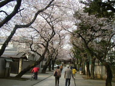 法明寺桜3.jpg