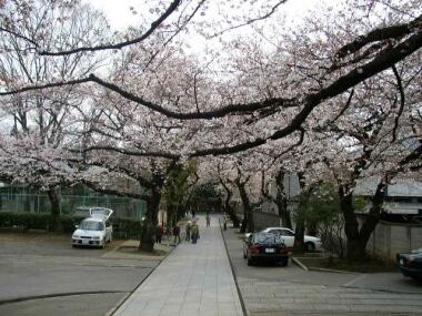 法明寺桜4.jpg