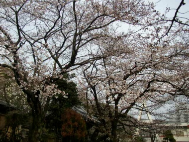 法明寺桜1.jpg