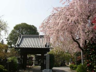 妙建寺桜2.jpg