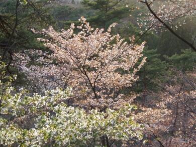 勿来の関桜2.jpg