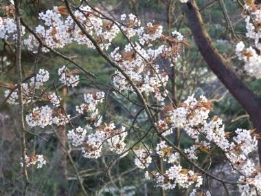 勿来の関桜3.jpg