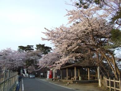 勿来の関桜4.jpg
