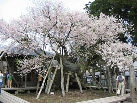 薬師桜(置賜さくら回廊).jpg