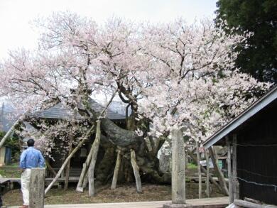 薬師桜(置賜さくら回廊)2.jpg