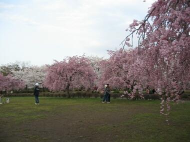 羊山公園桜2.jpg