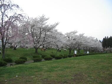 羊山公園桜3.jpg