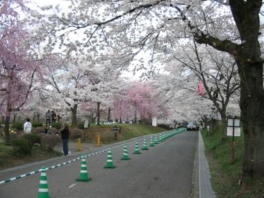 羊山公園桜1.jpg