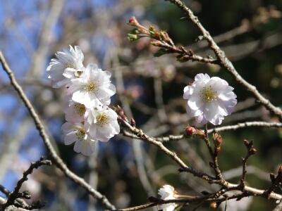 羊山公園冬桜.jpg