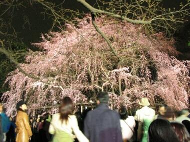 六義園の夜桜.jpg