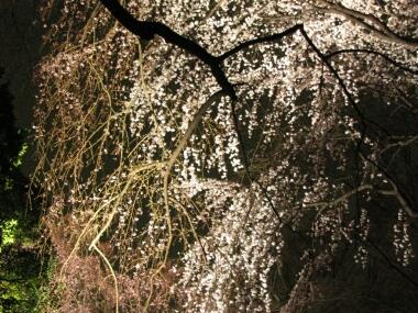 六義園の夜桜2.jpg