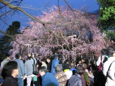 六義園の夜桜4.jpg