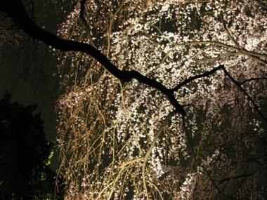 六義園の夜桜1.jpg