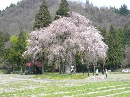 おしら様の枝垂れ桜1.jpg