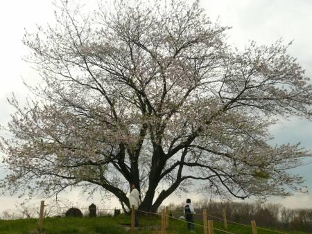 為内の一本桜1.jpg