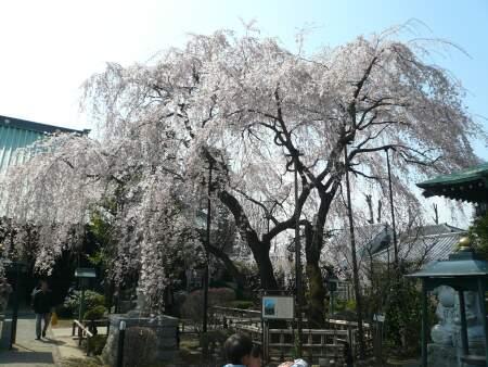 円乗院の千代桜1.jpg