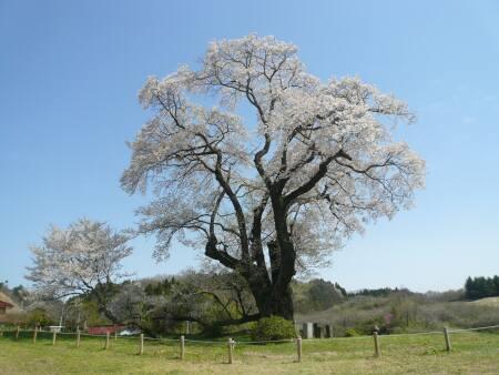 塩ノ崎の大桜1.jpg