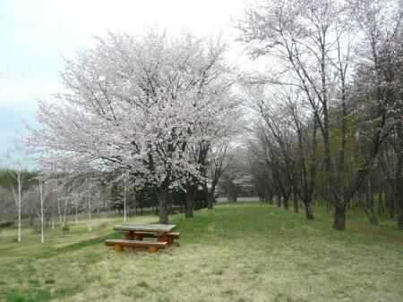 岩手県県民の森の桜1.jpg
