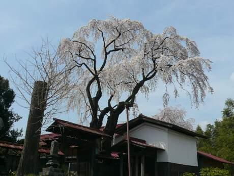 金蔵寺のシダレサクラ.jpg