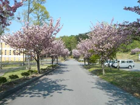 群馬パース大学の桜.jpg