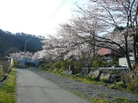 慶福寺の桜1.jpg