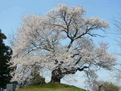 行人塚の桜1.jpg