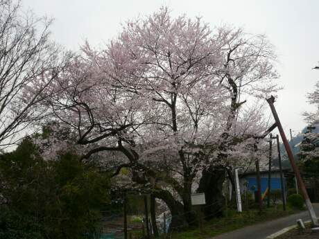 行田の彼岸桜1.jpg