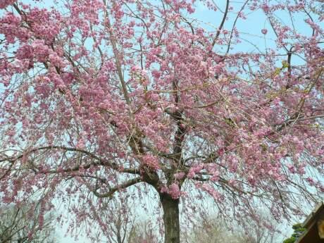 根城の広場 桜1.jpg