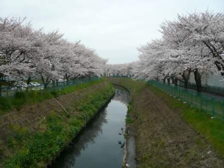 砂川堀の桜5.jpg