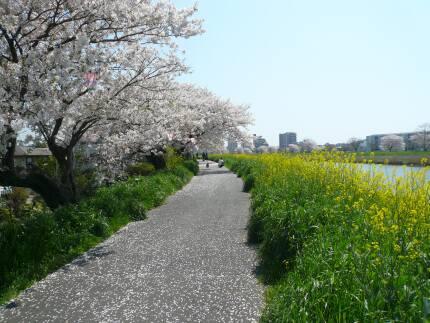 桜川堤の桜1.jpg