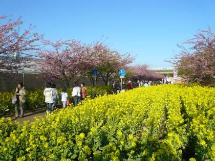 三浦の河津桜 菜の花