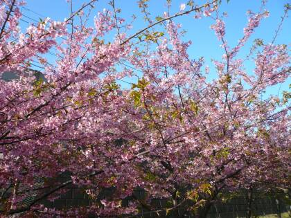 三浦の河津桜